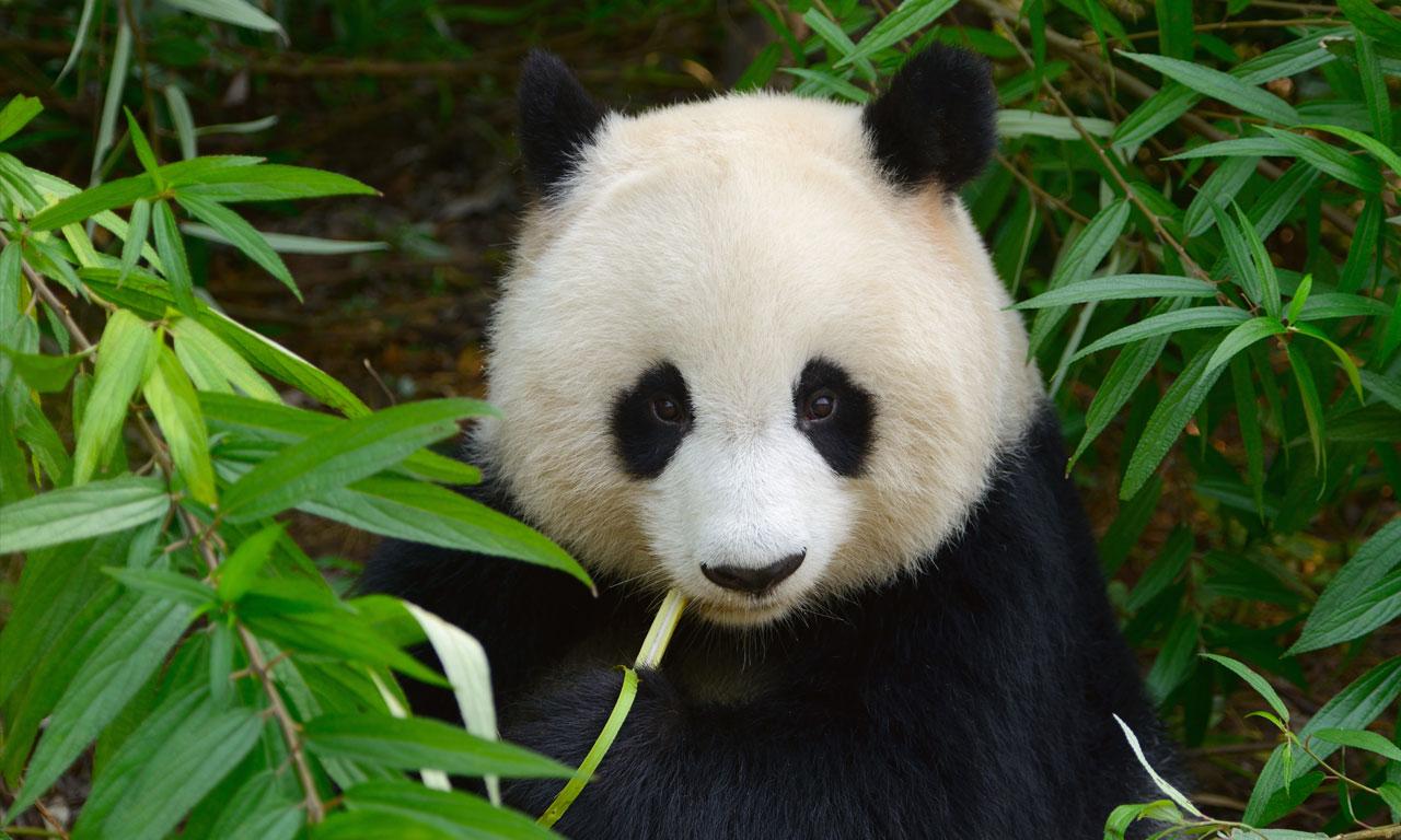 Giant Panda in the Wild