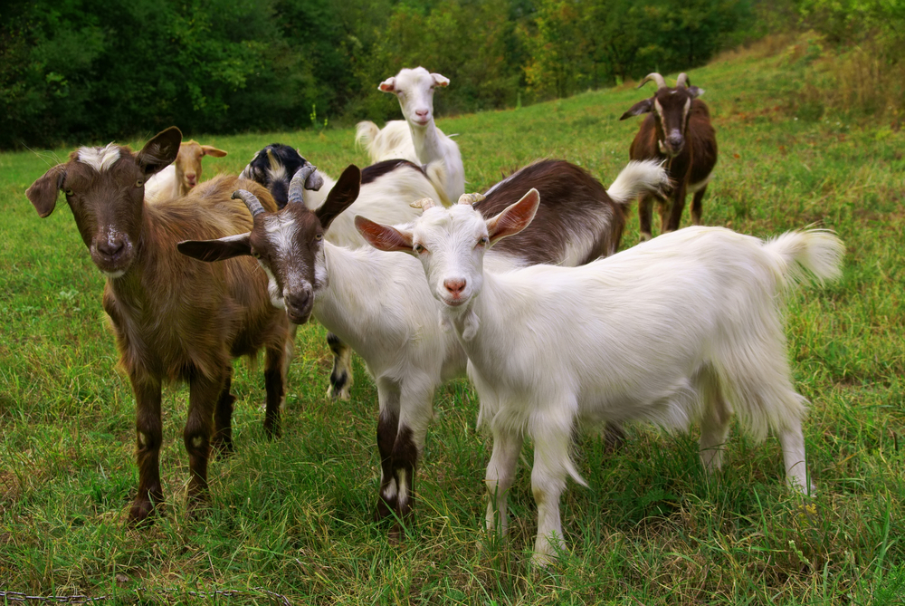 Google rents out goats to help keep their lawns clean