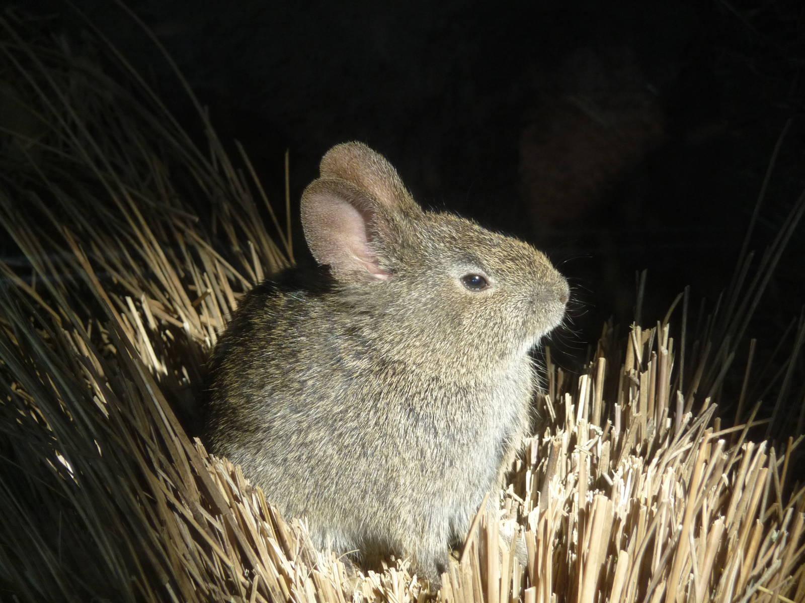 Volcano Rabbits