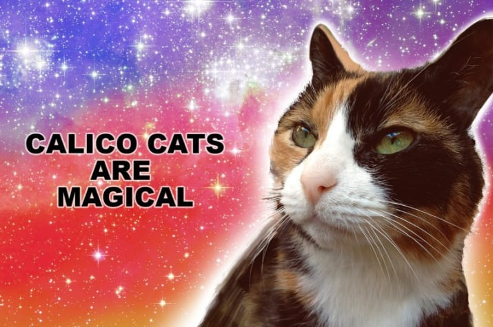 calico cats considered as a good luck omen since 1870's.