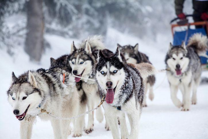 Husky dog is banned in Antarctica