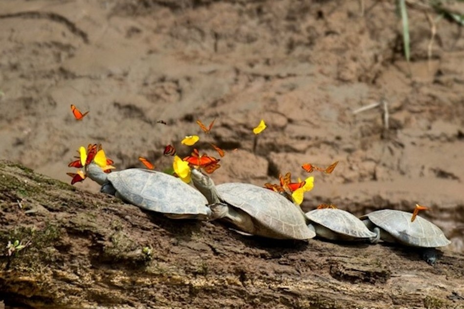 The butterflies of the Amazon drink tears of Turtle for vital mineral