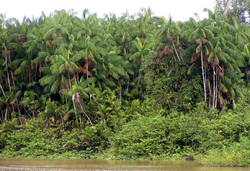 The most common tree in the Amazon rainforest is the Euterpe Precatoria