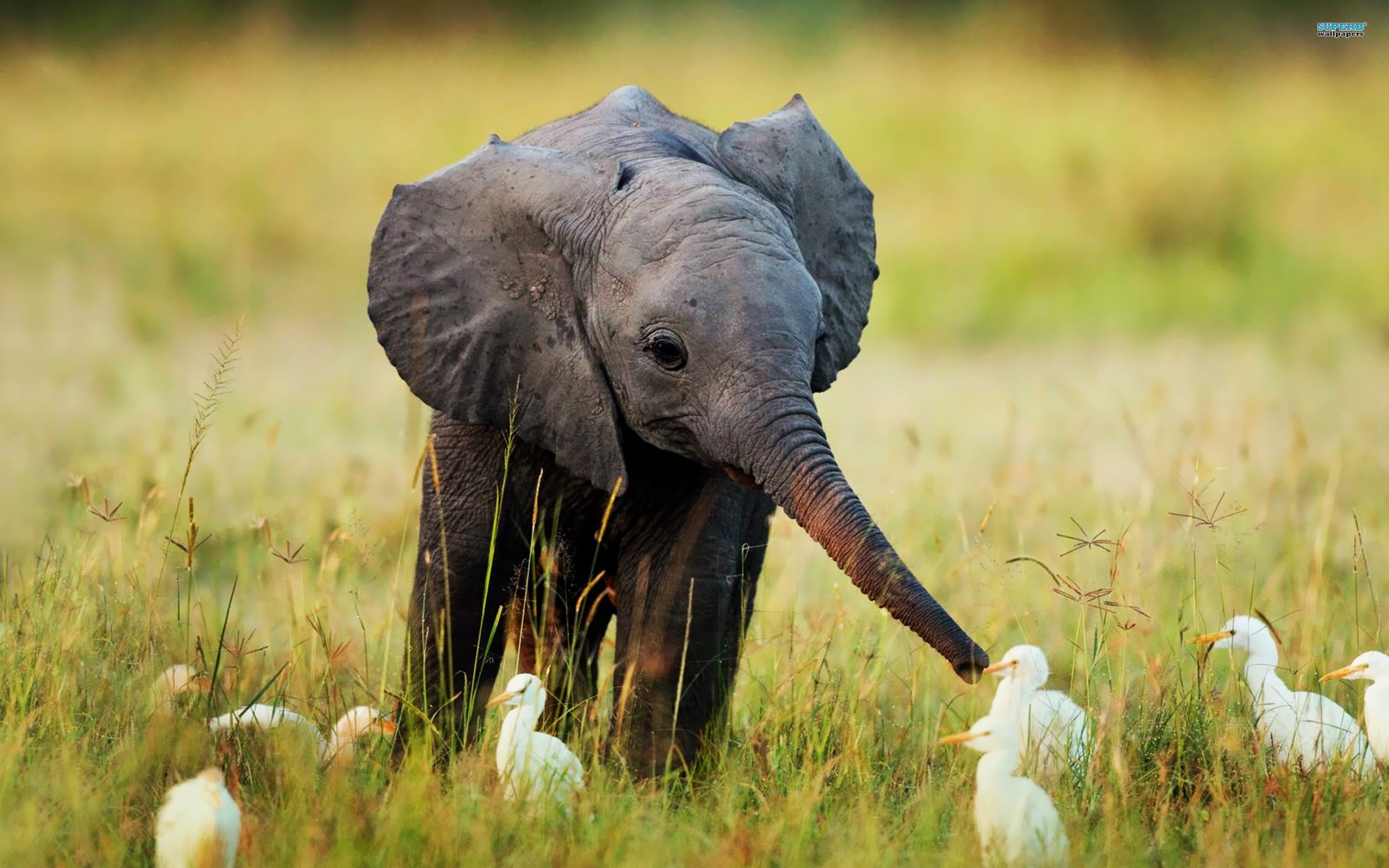 A baby elephant is called a calf - Serious Facts