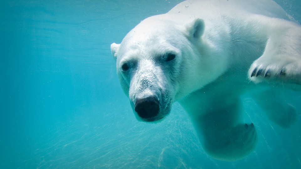 A polar bear can swim up to 100 miles without resting.