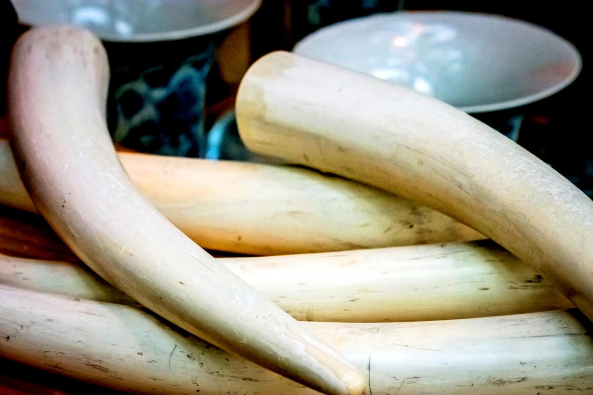 Around 100 elephants are killed every day for their ivory - Serious Facts
