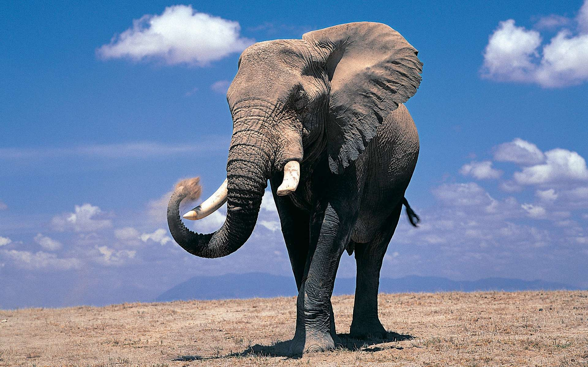 The largest elephant was an African elephant weighed around 24,000 pounds and was 13 feet tall.