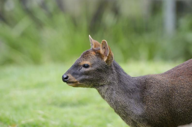 The world's smallest deer named Pudu is found in Chile - Serious Facts
