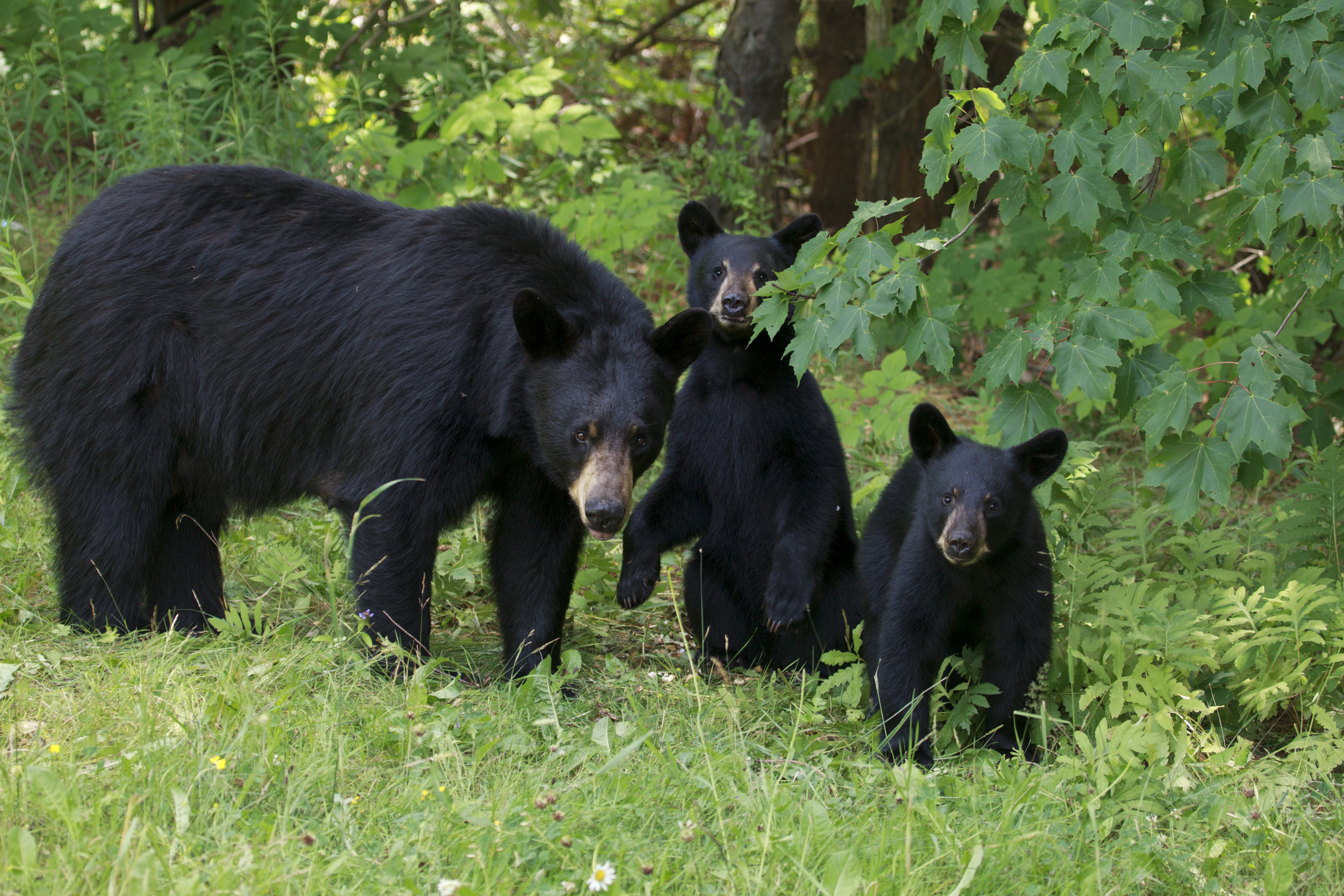 There are at least 600,000 black bears in North America.