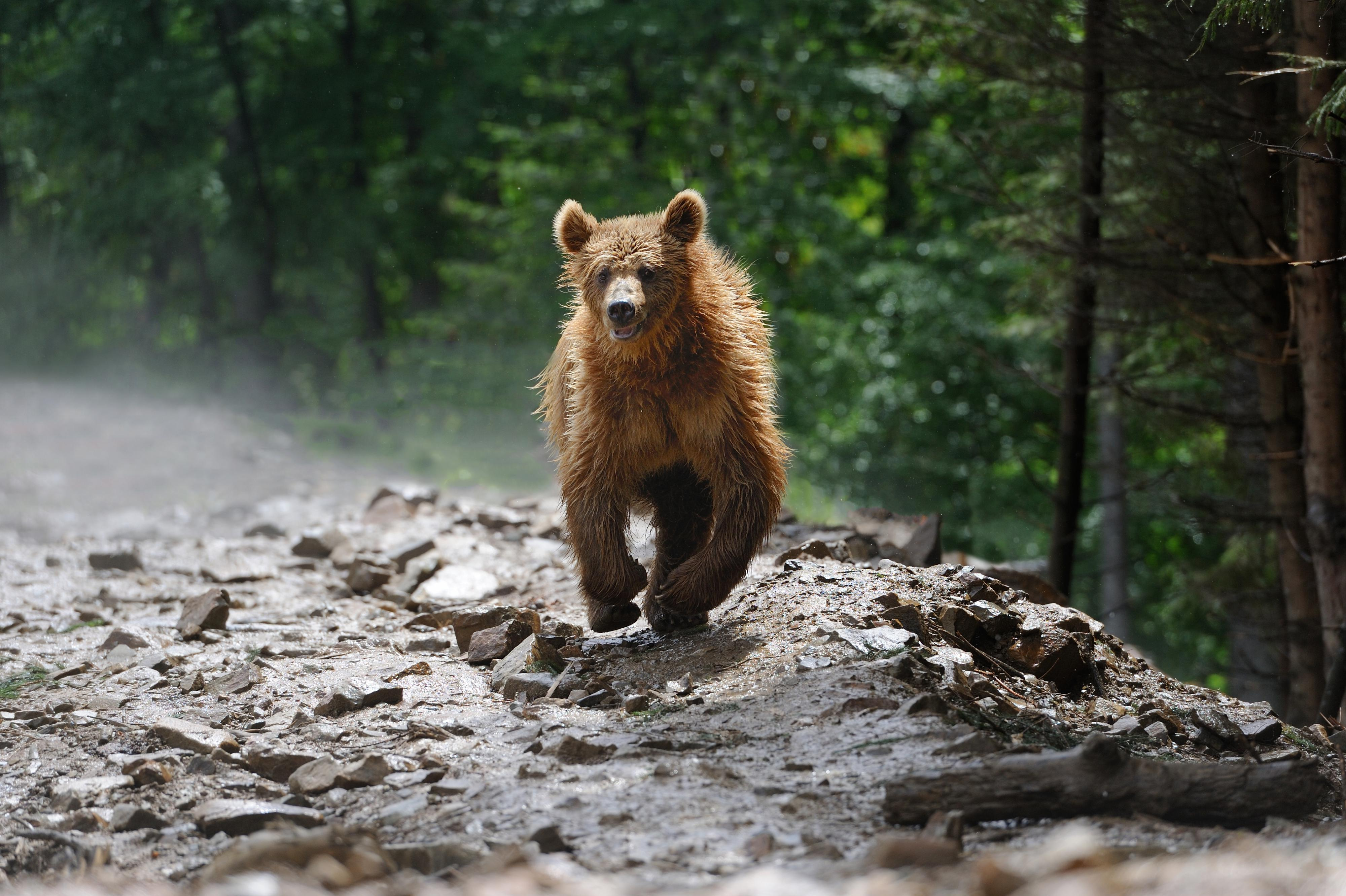 Bears are big and heavy even though they can run very fast.