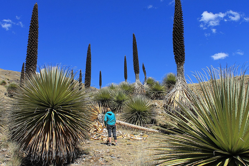 Peru is home to the world's tallest flowering plant called Puya raimondii.