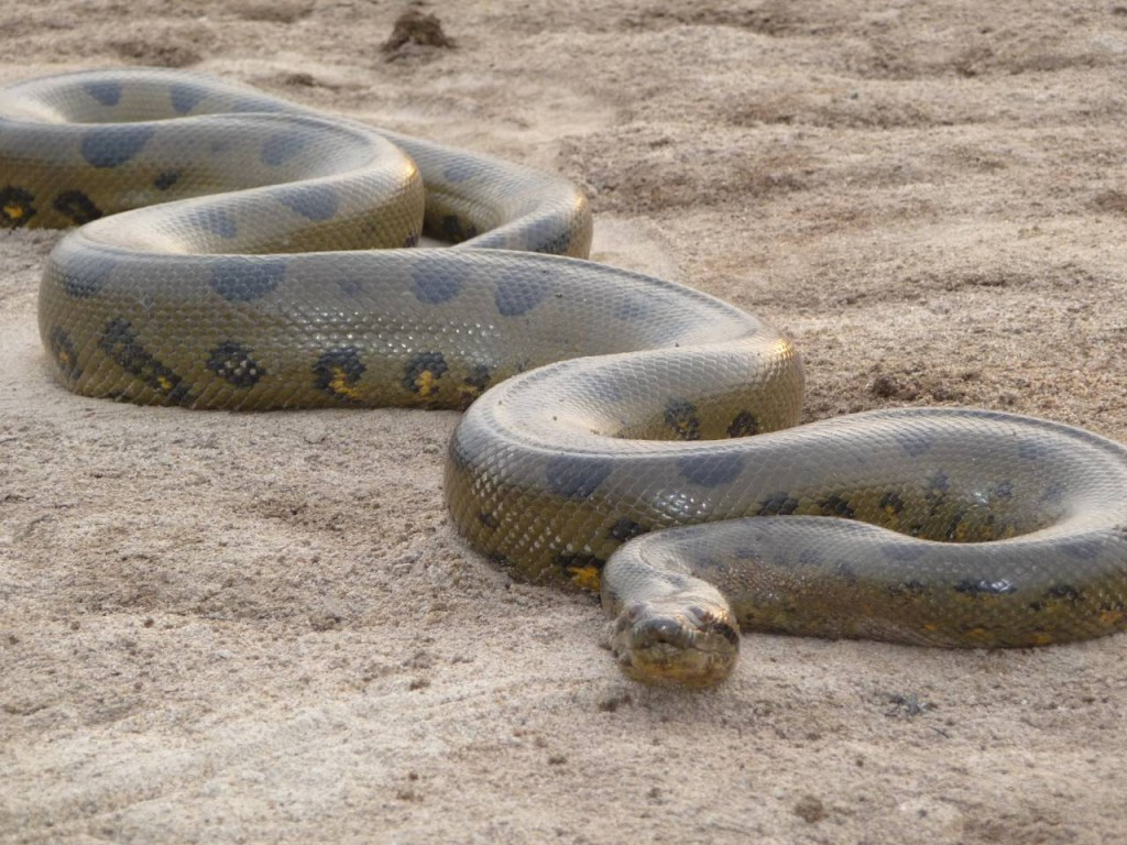The Philippines is home to the longest snake in the world.