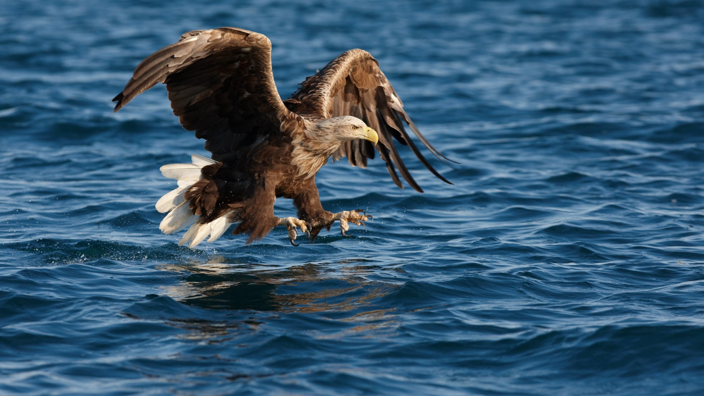 The national symbol of Poland is the white-tailed eagle.