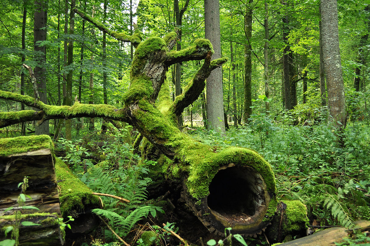 The oldest park in Poland is the Bialowieski National Park, which was founded 86 years ago.