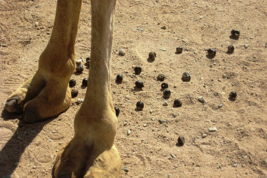 A camel poop is really dry.