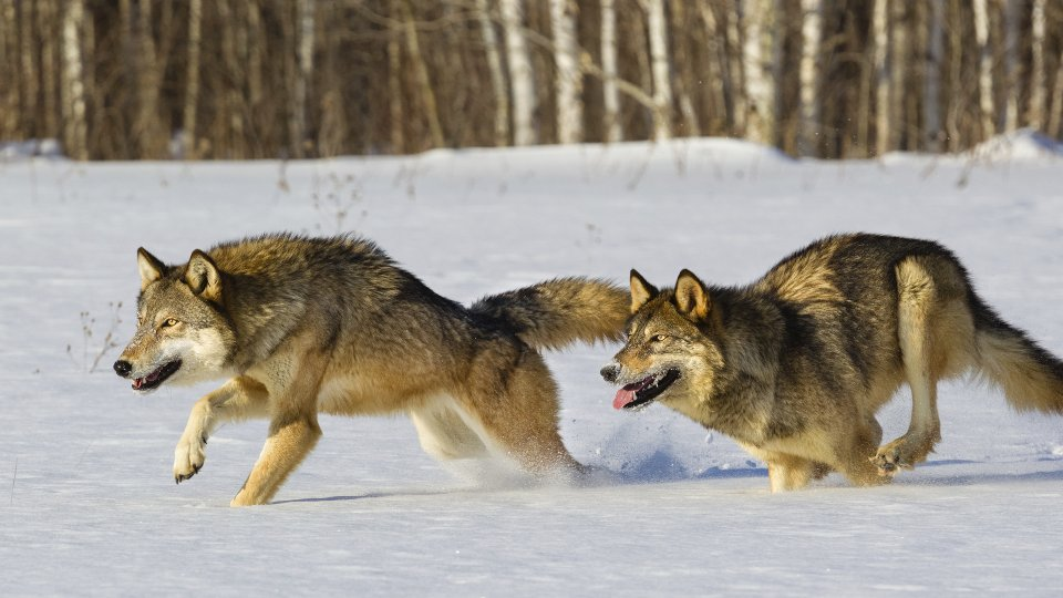 A wolf can run at a speed of 65 kilometers per hour.