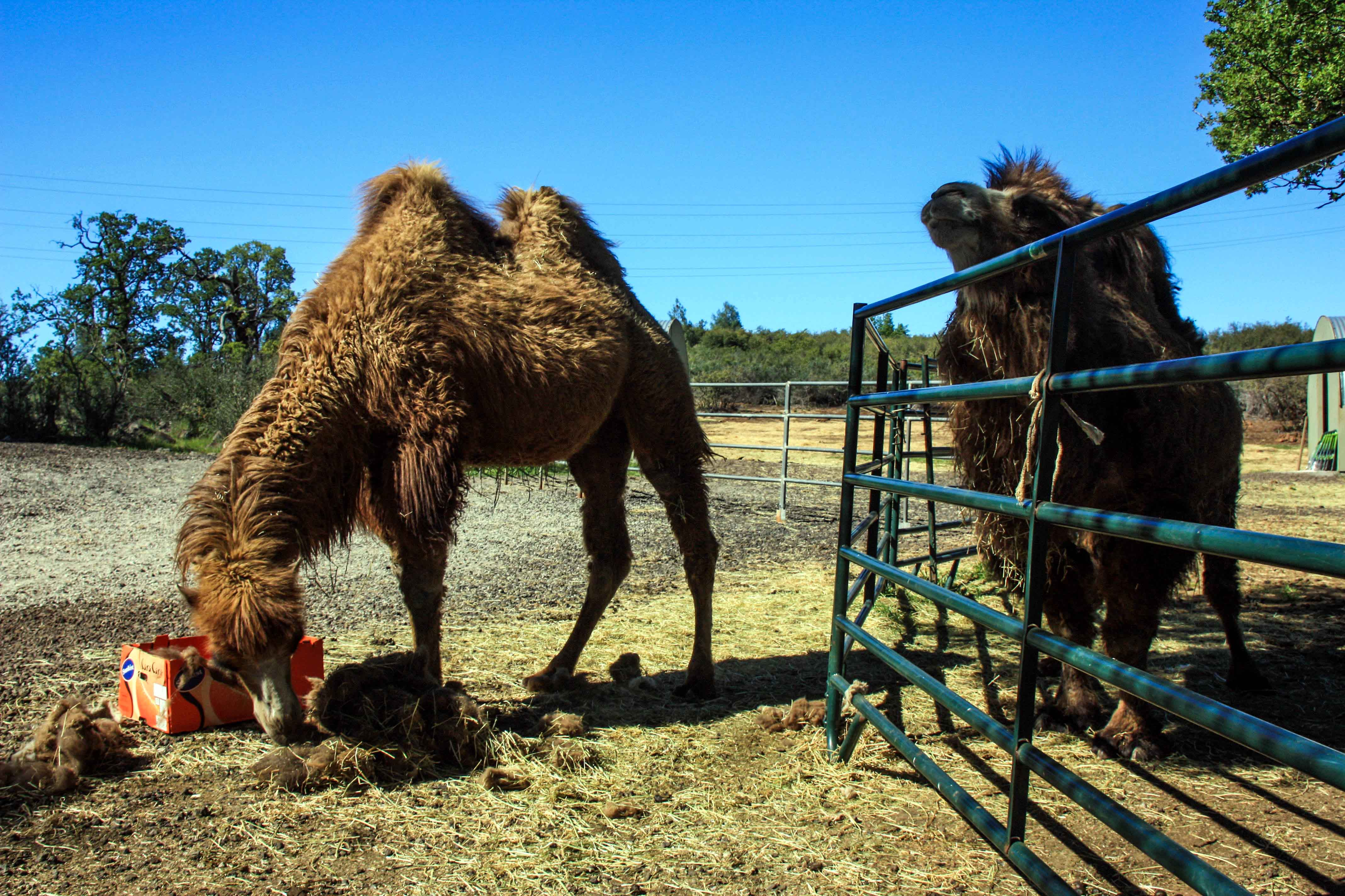 Camel's hair replicates the desert sun and retains them cool in very hot temperatures.
