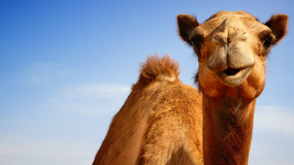 Camels have good eyesight and hearing.