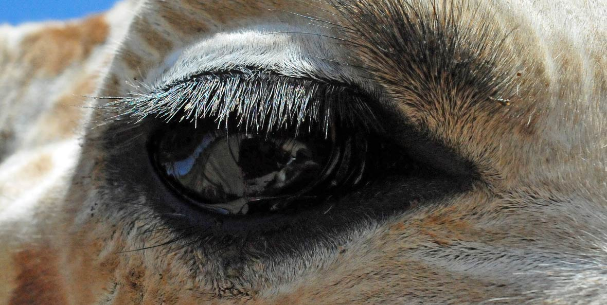 Camels have three sets of eyelids with two rows of eyelashes.