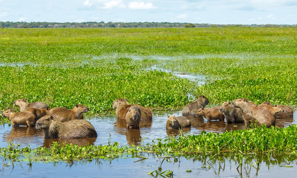 Capybara, the world's largest rodent, which is found in the grassy plains of Venezuela.