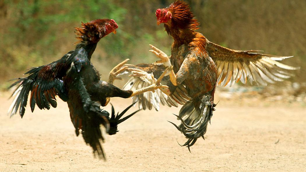 Cock-fighting is a legal and popular sport in Puerto Rico.