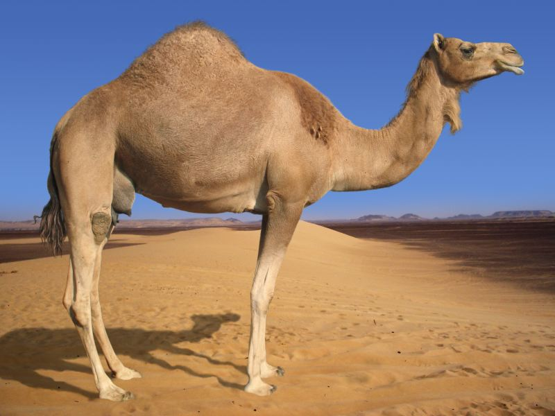 Dromedary Camels have only one hump.