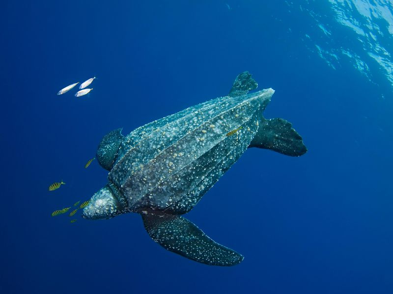 Puerto Rico is also a home to the world's largest living reptiles, the leatherback sea turtle.