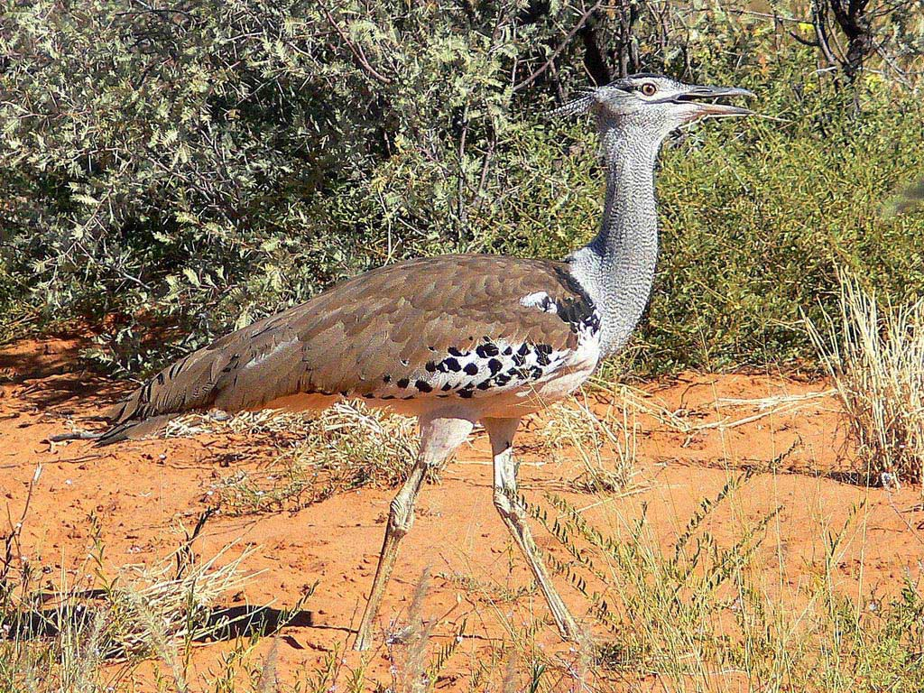 South Africa is home to the world's heaviest flying bird, the Khori Bustard.