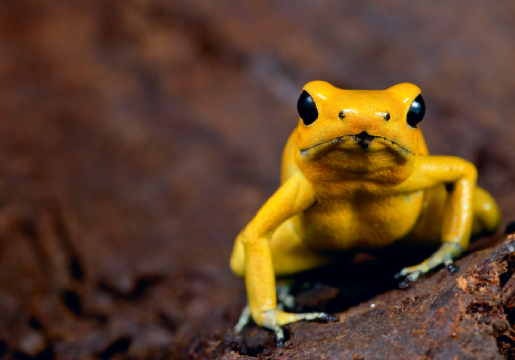 The golden dart frog's skin could kill up to 1,000 people.