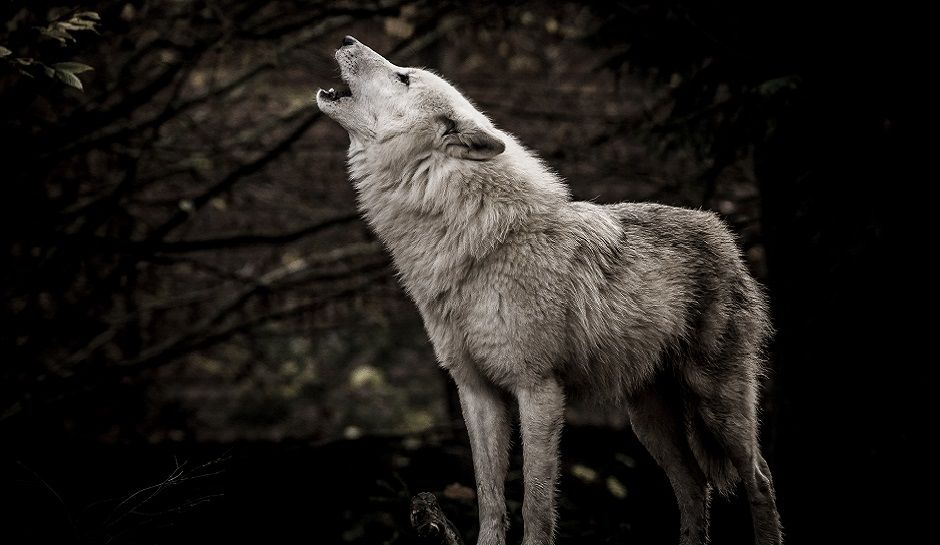 The sound made by a wolf is referred to as a howl.