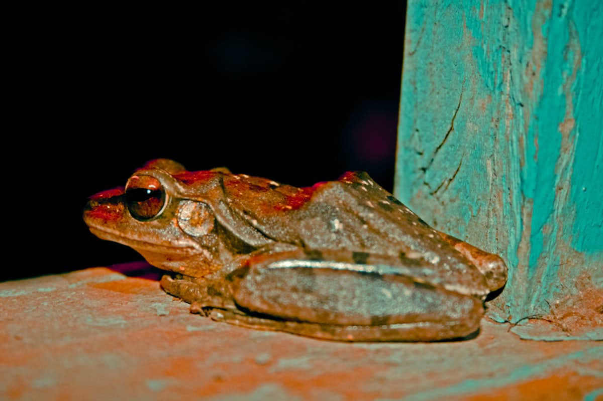 There is a frog in Indonesia that has no lungs.