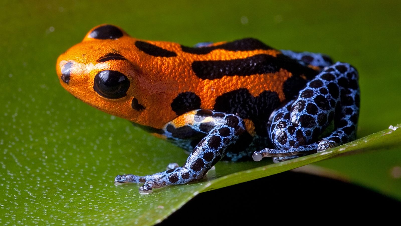 There is also another type of poison dart frog which is called the blue jeans frog it has a red body with blue legs