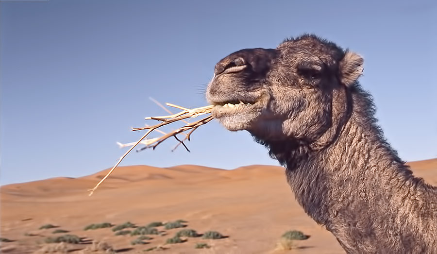 When there is no food available the fat in the hump of camels converts to energy and water so the camel can live.