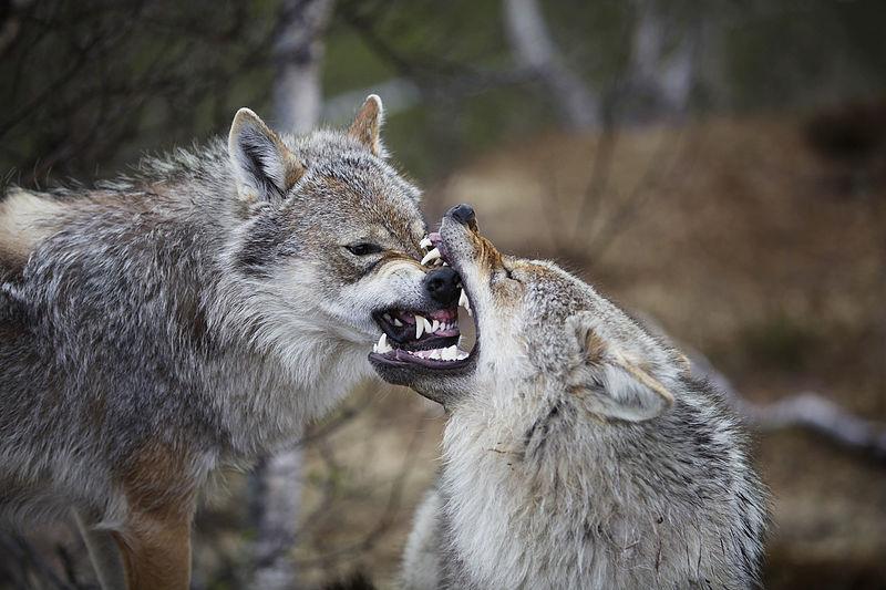 Wolves have 42 teeth.