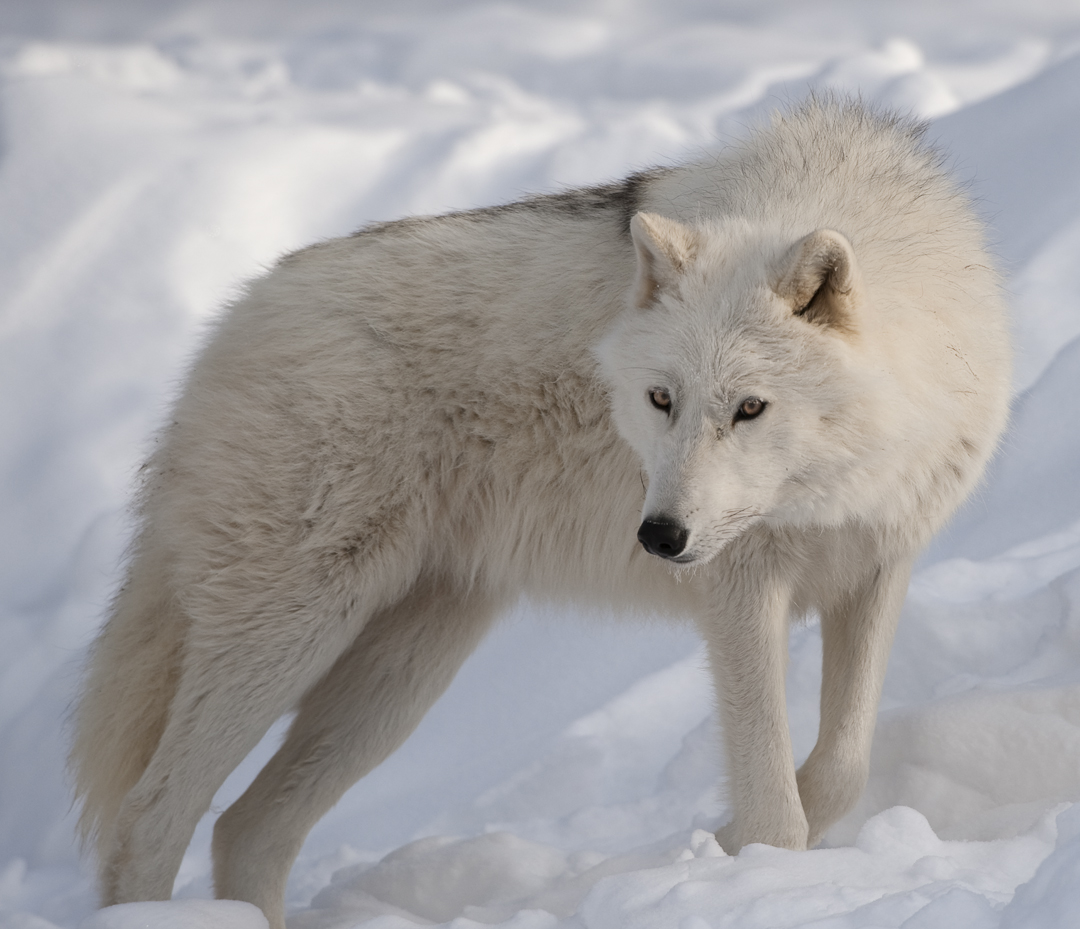 Wolves have rounded ears.