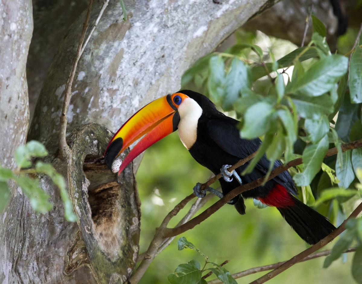 A Toco Toucan's egg hatches within sixteen to twenty days.