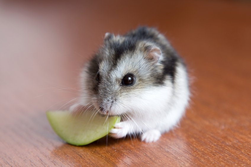 A female hamster can store her pup in cheek to safe from any danger.