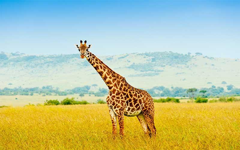 A giraffe can clean their ears with their tongue.