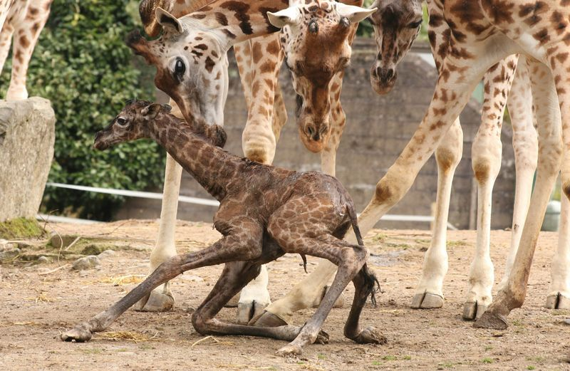 A newborn calf weighs approximately one hundred kg.