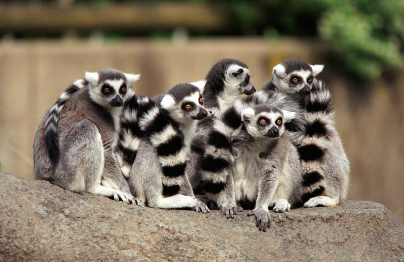 As compared to other species Ring-tailed Lemurs spend most of his time on the ground.