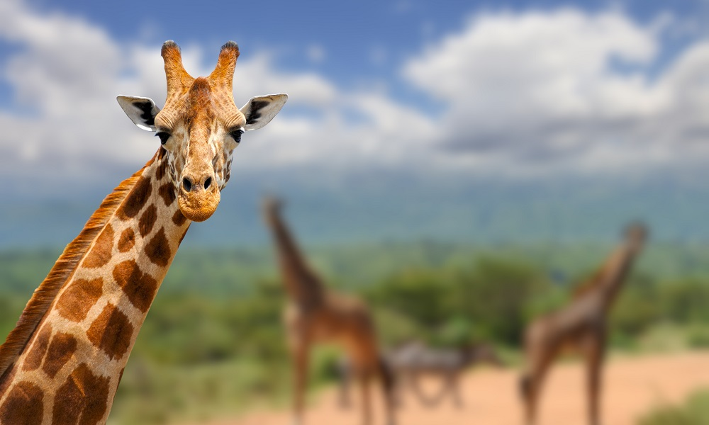 The step taken by the giraffe is about 15 feet in length.