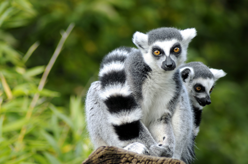 Female lemurs have a gestation period of 102 to 170 days.