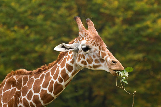 Giraffes are herbivores, which mean they only eat plants.