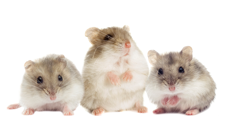 Hamster can remember their relatives.