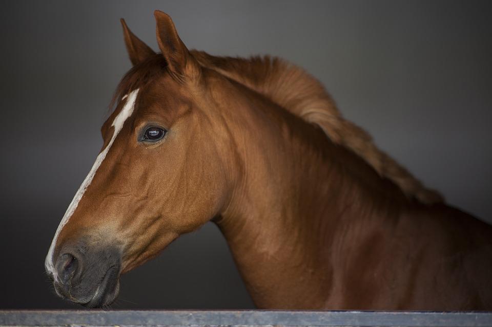 Horses have the largest eyes of any land animal.