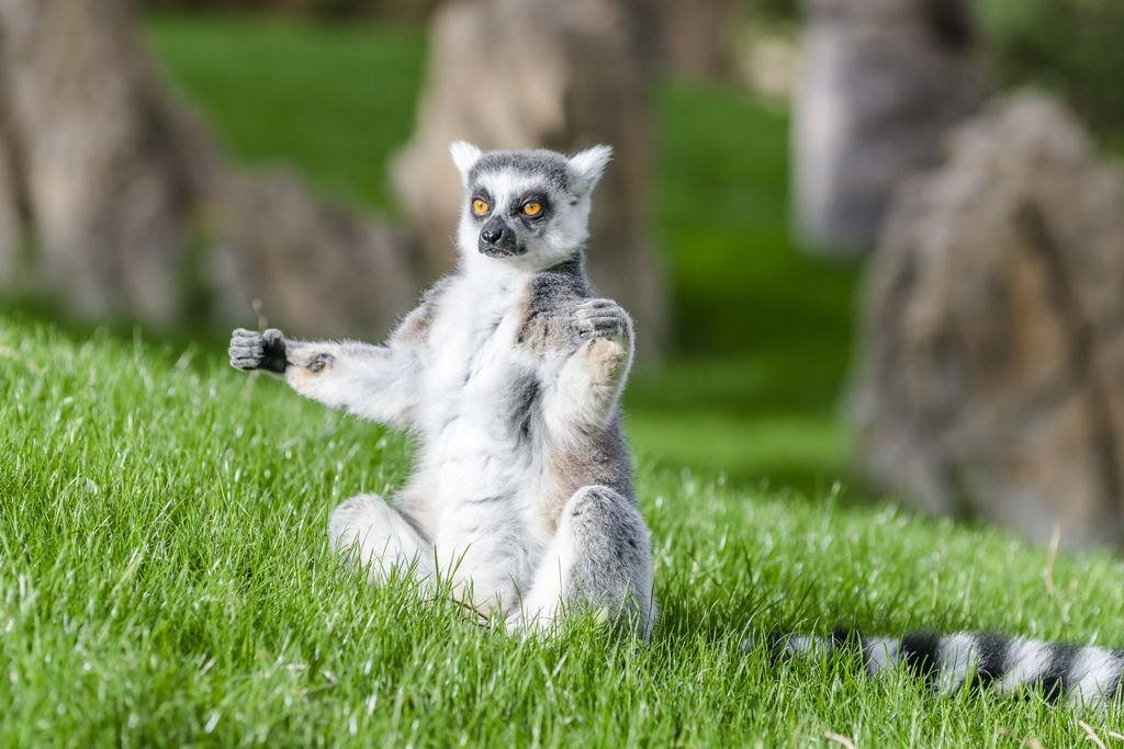 Lemur has thin fur that can be of brown, black, grey or reddish colored.