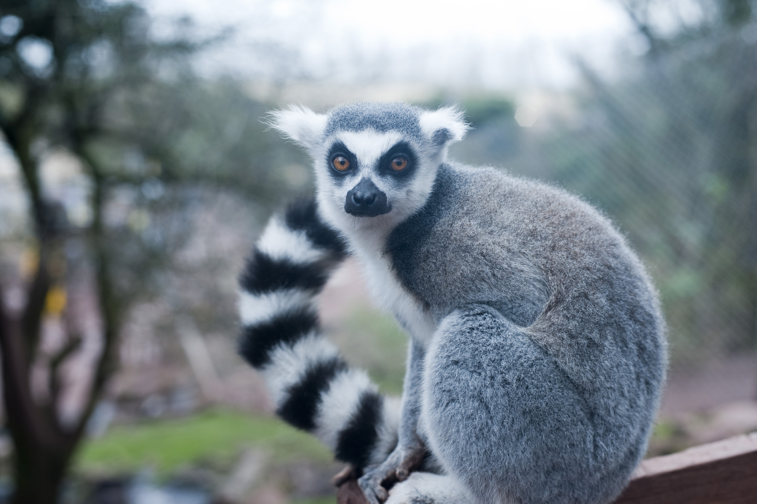 Lemurs also use their tail as a form of communication.
