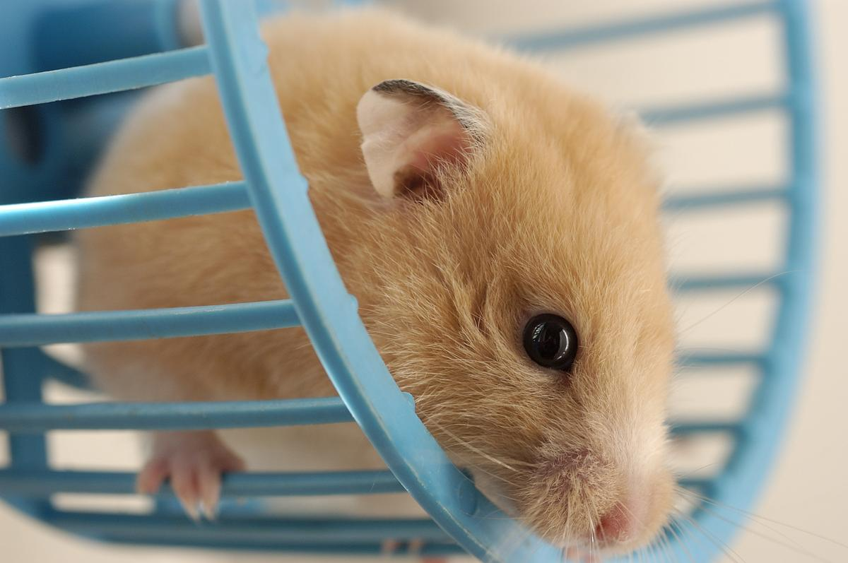 Male hamsters are called boars.