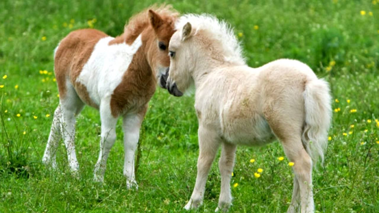 Ponies live longer than horses.