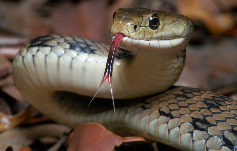 Python is considered the longest snakes in the world.